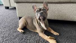 Six-month-old French Bulldog, Regal